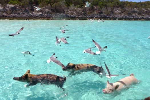 Travel Diary Bahamas: Swimming Pigs – Die mit den Schweinen schwimmt